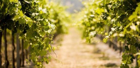 img_vineyards